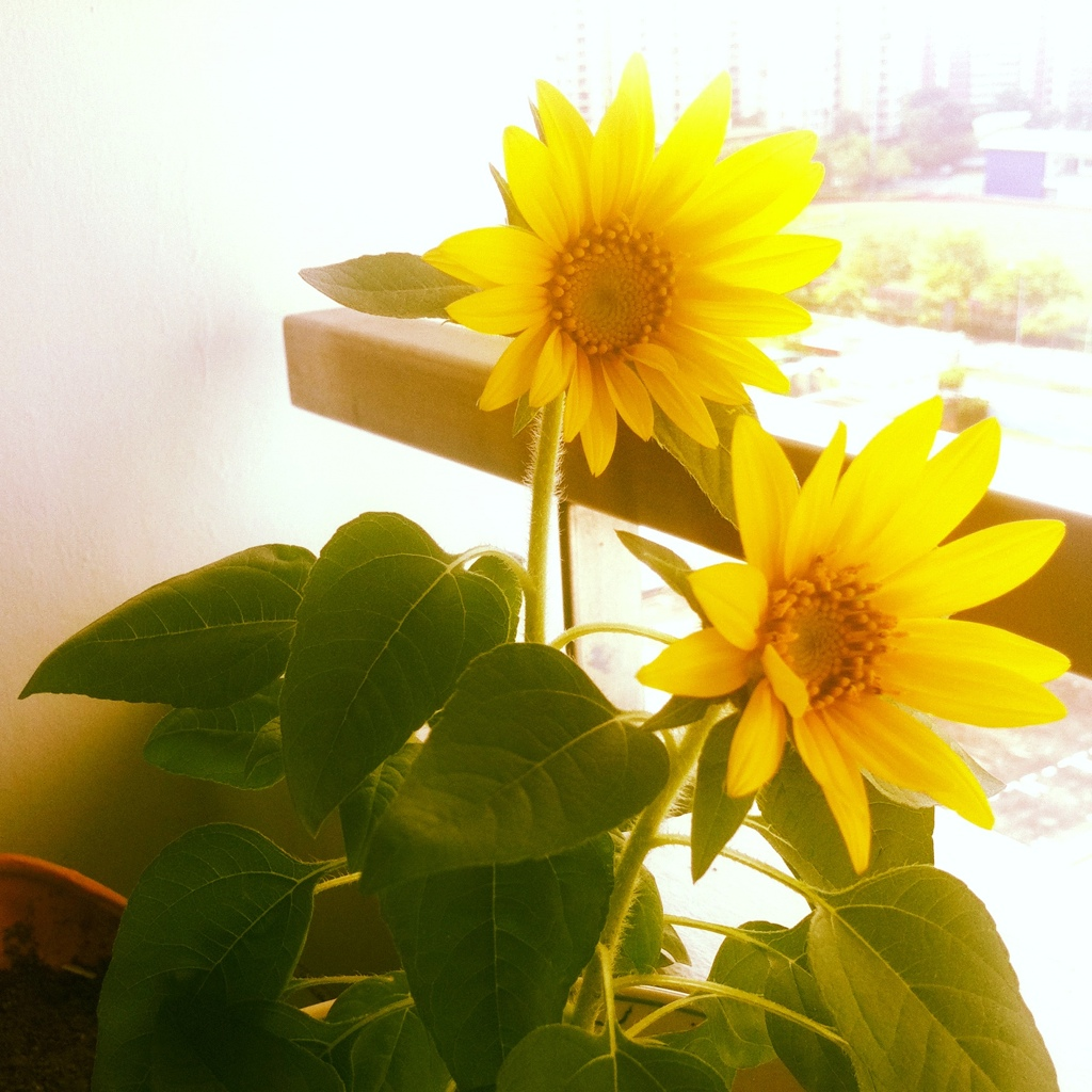 Homegrown Sunflower smiling at me!:)