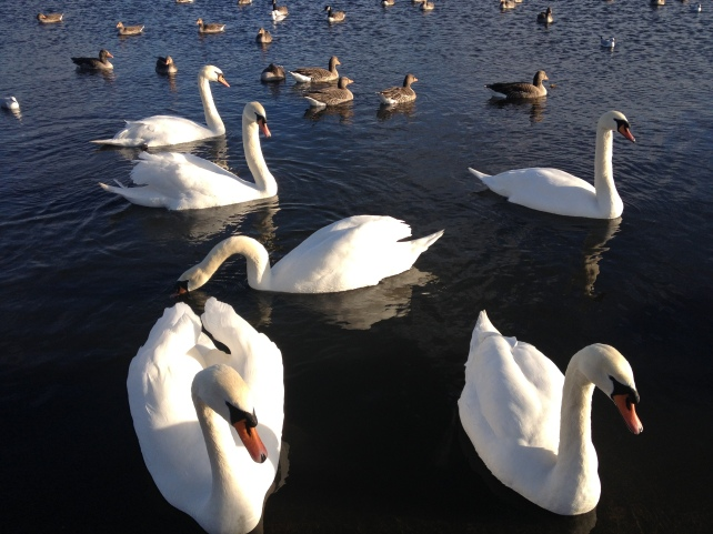 Ducks, Swans, Goose and other birds in the park.